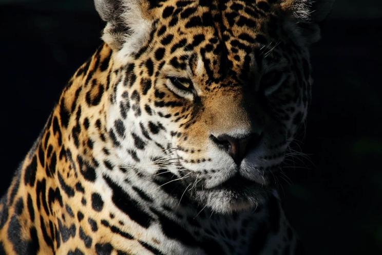 FOFA   The Jaguar Breeding Project.