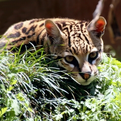 NISSA | The Jaguar Breeding Project.
