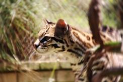 NISSA   The Jaguar Breeding Project.