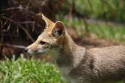 FOX   The Jaguar Breeding Project.