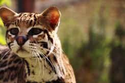 JAGUATIRICA   The Jaguar Breeding Project.