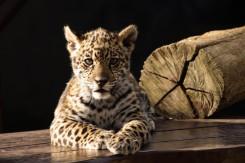 PERSEU   The Jaguar Breeding Project.